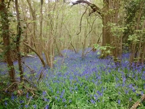 Full colour photo of green spring woods with a flood of cold bluebells
